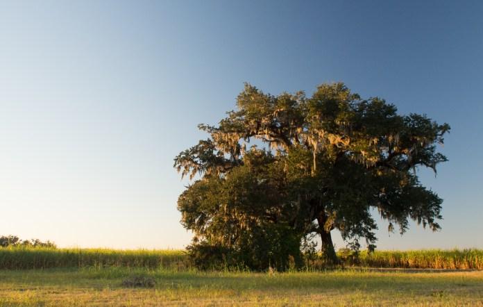 Healthy Oak Tree