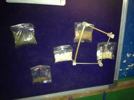 Various seeds and legumes on display inside of a classroom, possibly part of science-related learning