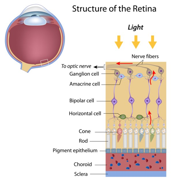 Layers of the Retina - Discovery Eye Foundation