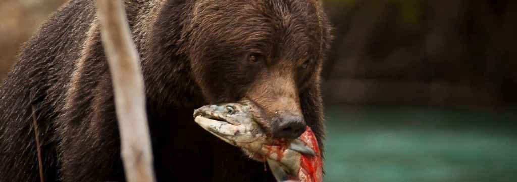 Grizzly Bear with fish