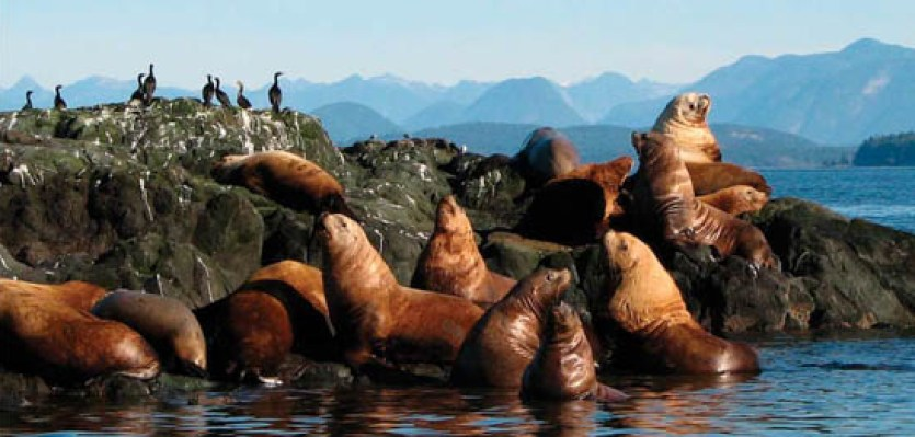 sealion haulout with cormorants and BC coastal mountain range in the background