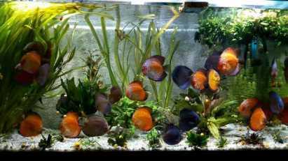 С кем живут дискусы — соседи дискусов, совместимость с другими рыбками