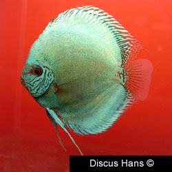 Flachen Discus Fish