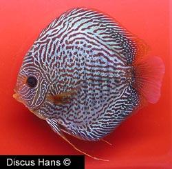 SnakeSkin Blue Discus Fish