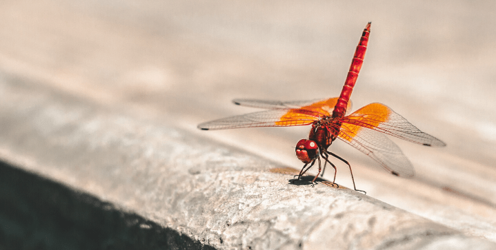 Watch a dancing dragonfly up close
