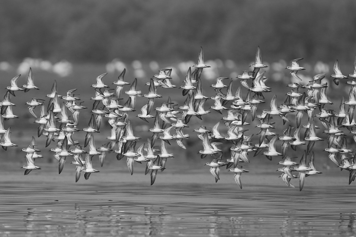 Disappearing sandpipers in murmuration