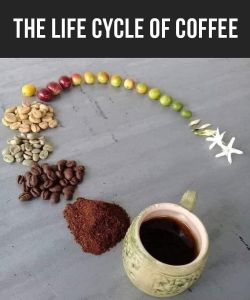 The Life Cycle of Coffee