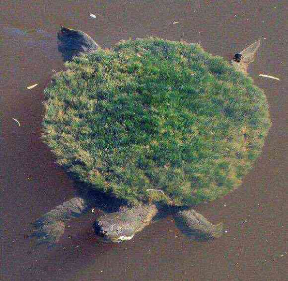 Mary River Turtle: Punk rock turtle who can breathe for 72 hours underwater