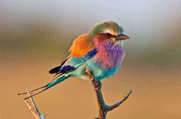 The beautiful yet feisty Lilac-breasted roller bird, Africa's most colorful bird