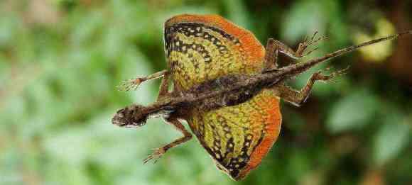 Draco volans: The flying dragon lizard