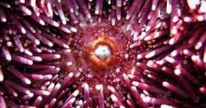 pink sea urchins have self sharpening teeth