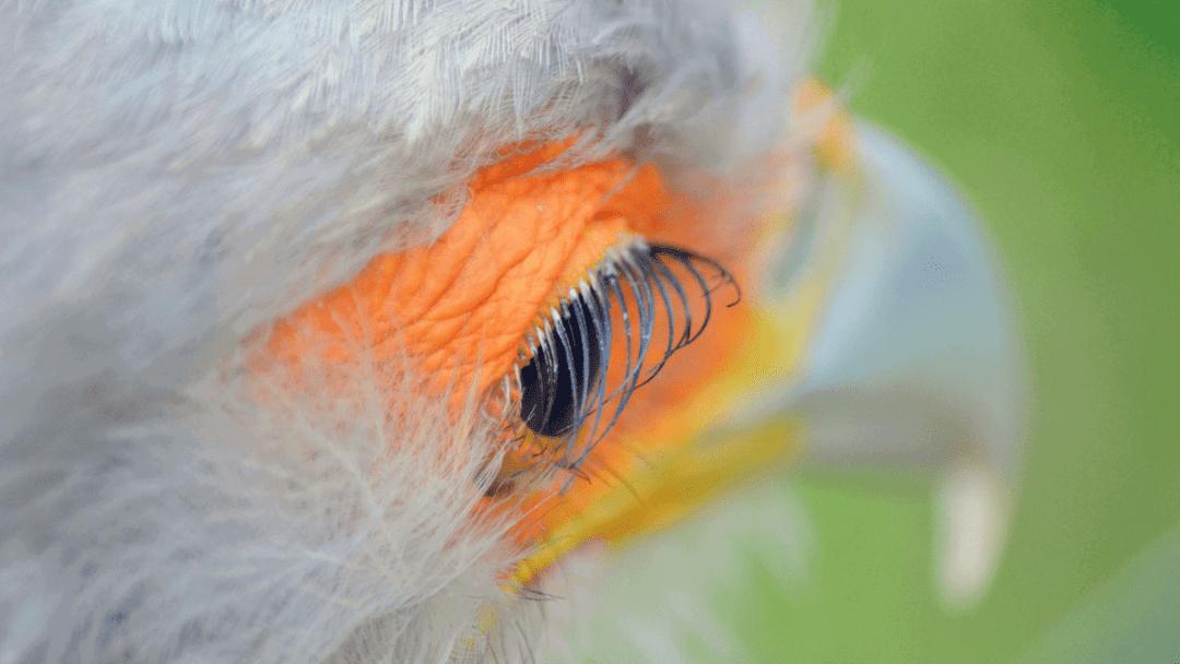gorgeous eyelashes of the secretary bird