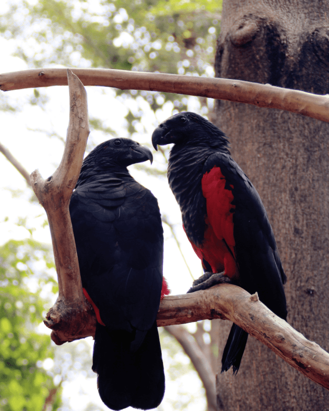 Pesquet's parrot aka Dracula Parrot