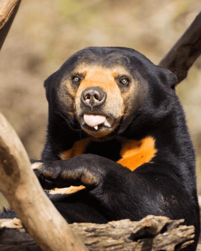 sun bear tongue