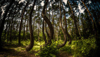 Poland's 'Crooked Forest'