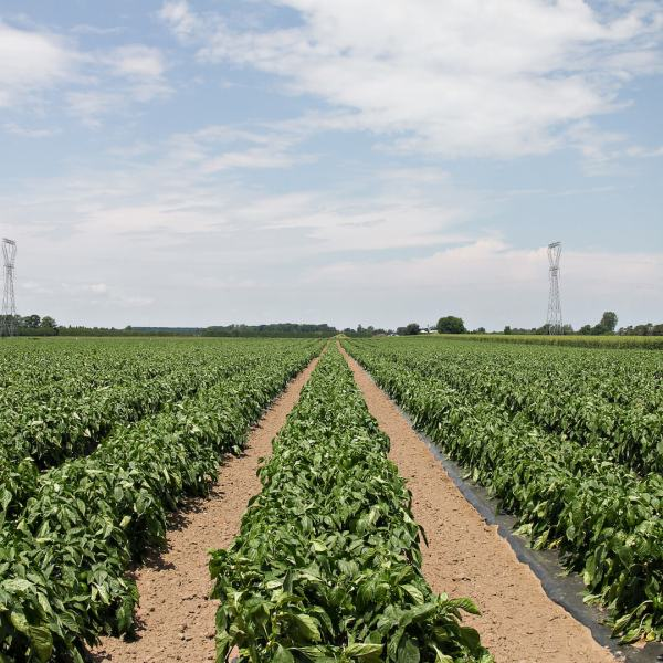 Ontario Brings Locally Grown Produce to SUBWAY® Restaurants