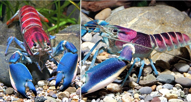 Rainbow Papua lobster hias