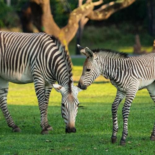 Dash Baby Zebra