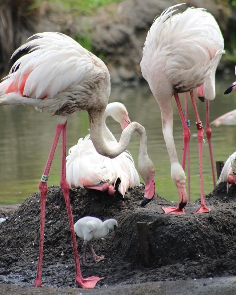 Flamingos Celebrate Father's Day At Animal Kingdom!