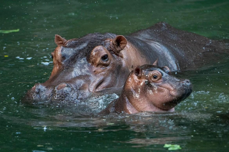 Meet Disney's Newest Hippo Calf, Greta Now At Kilimanjaro Safari!