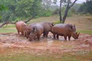 Kilimanjaro Safari - Rhino Mud