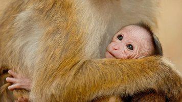 Disneynature Monkey Kingdom 1