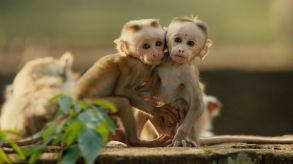 Disneynature Monkey Kingdom 4