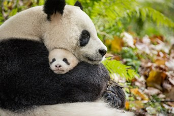 Disneynature Born In China Pandas