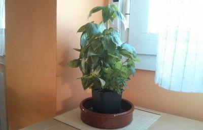 Una plantita de Albahaca
