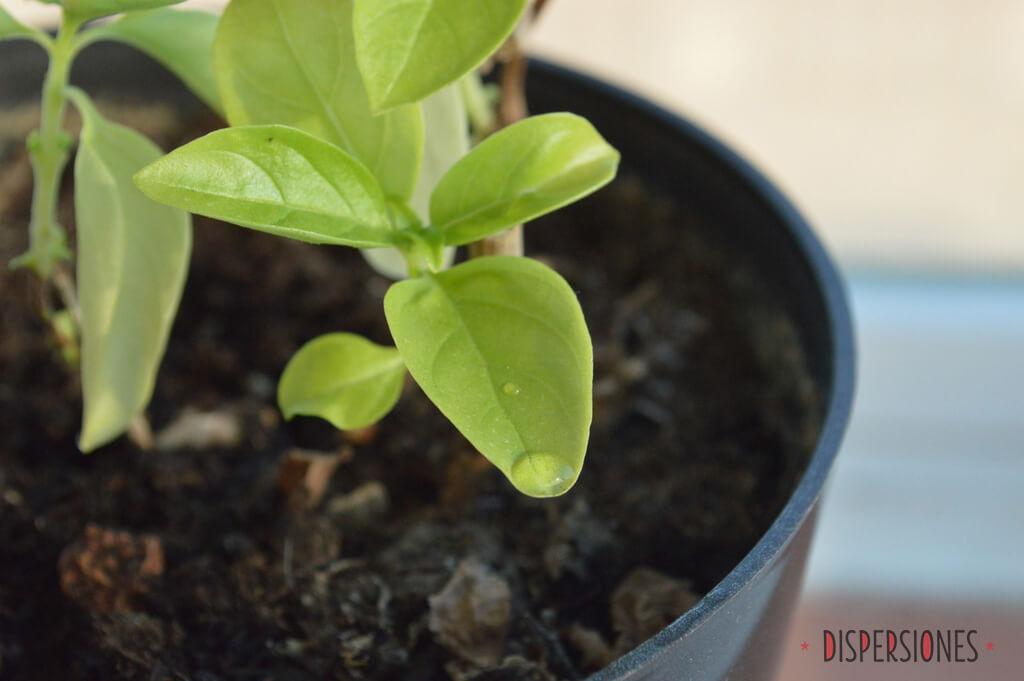 Vida de una planta de albahaca II: Pachucha Lives!