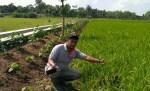 Handoyo, Sabet Predikat Petani Padi Terbaik Kedua Se-Jateng.