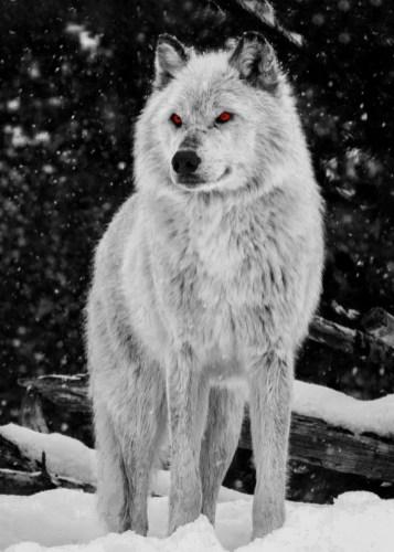 Wolf Amber Eyes By Cornel Vlad Displate