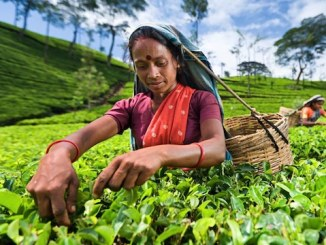 Colombo Tea Auction