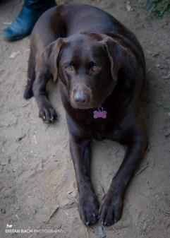 Our Labrador, Hannah