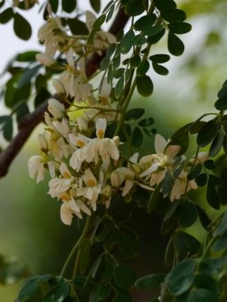 Moringa blossom