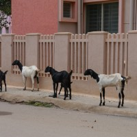 Cows, Dogs and Goats
