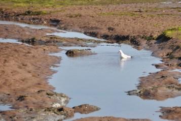 Seagull on mud flats