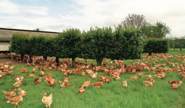 Auchan Retail no comercializará huevos de gallinas criadas en jaulas en 2025