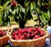 Carrefour comercializa más de 735.000 kilos de cerezas y picotas del valle del Jerte