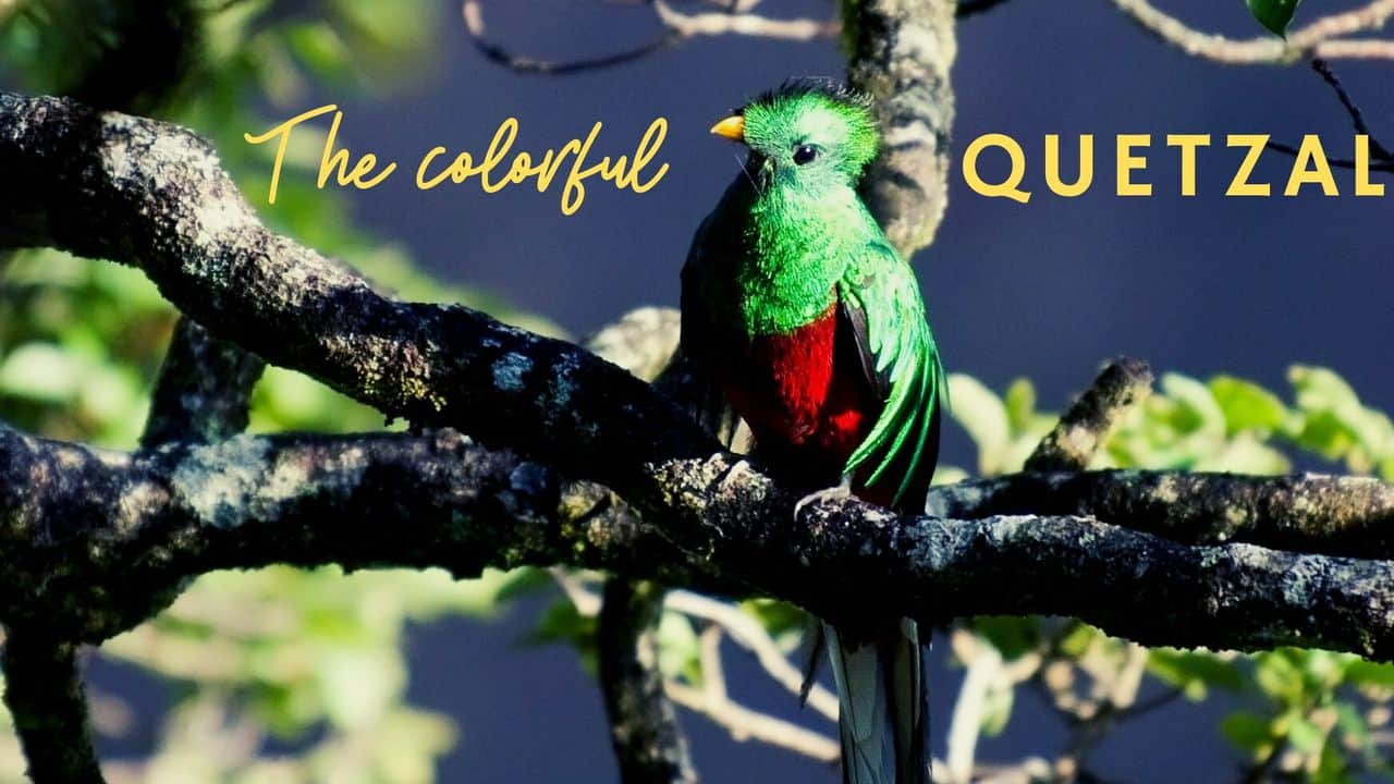 Have a look at this colorful and beautiful Quetzal bird from Guatemala