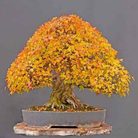 Acer burgerianum bonsai
