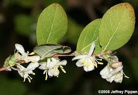 Lonicera fragrantissima  – (nagyon) illatos lonc