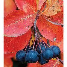 Aronia melanocarpa – fekete ,törpe berkenye