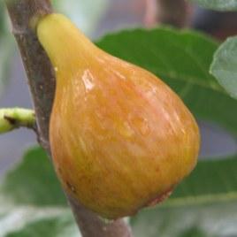 Ficus carica 'Zöld óriás' – gyümölcs  füge