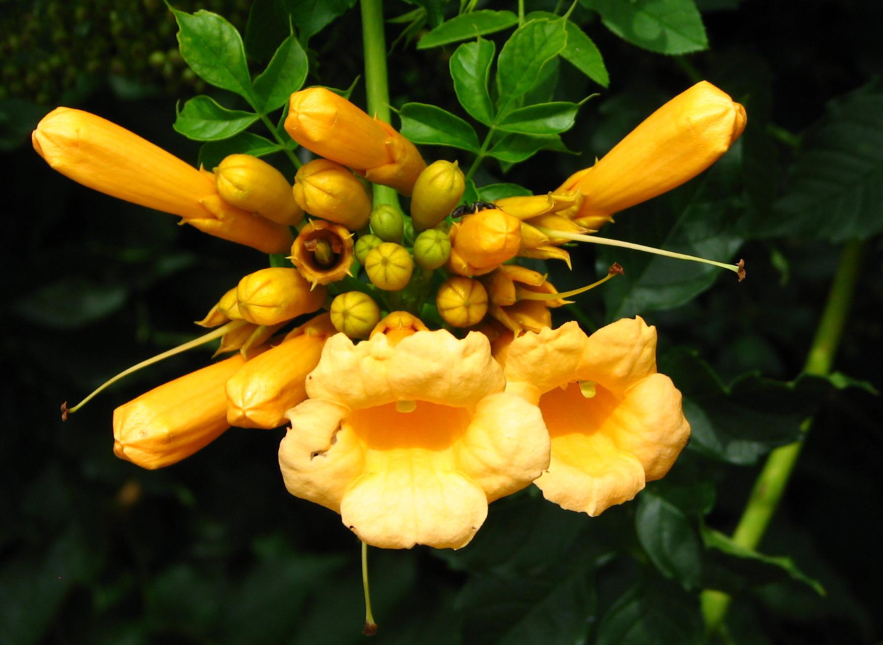 Campsis radicans 'Yellow Trompette' – sárga trombita folyondár