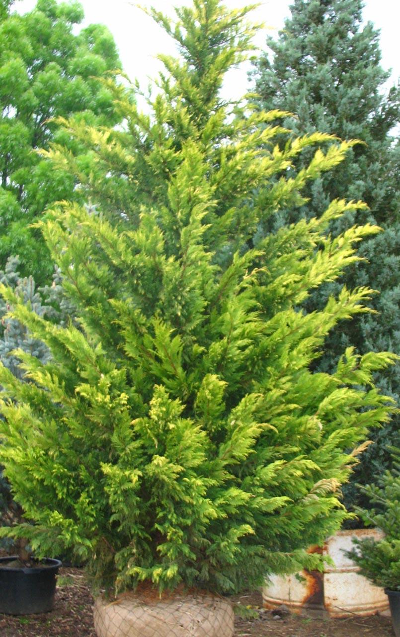 x Cupressocyparys leylandii 'Gold Rider' – arany  leyland ciprus