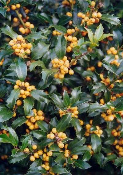 Ilex x meservae 'Golden Girl' – sárga hibrid magyal