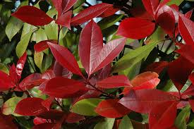 Photinia  x fraserii 'Red Robin' – koralberkenye