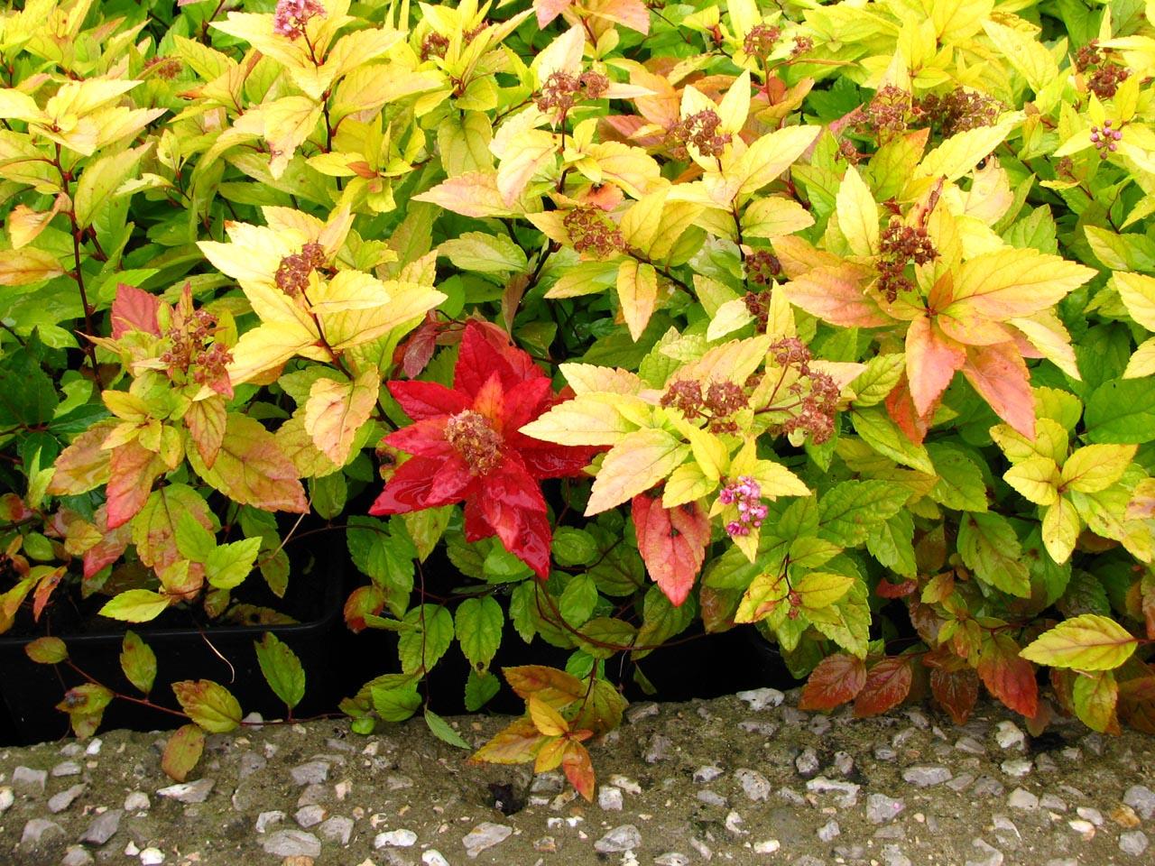 Spiraea japonica 'Gold Mound'- arany levelű, kerti gyöngyvessző