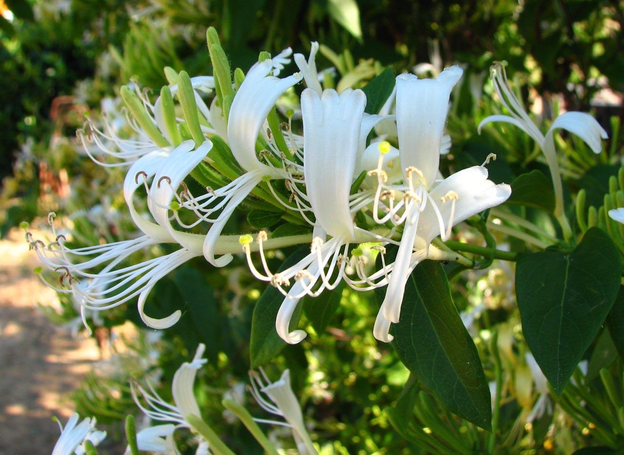Lonicera  henrii x Lonicera  japonica – örökzöld hibrid lonc